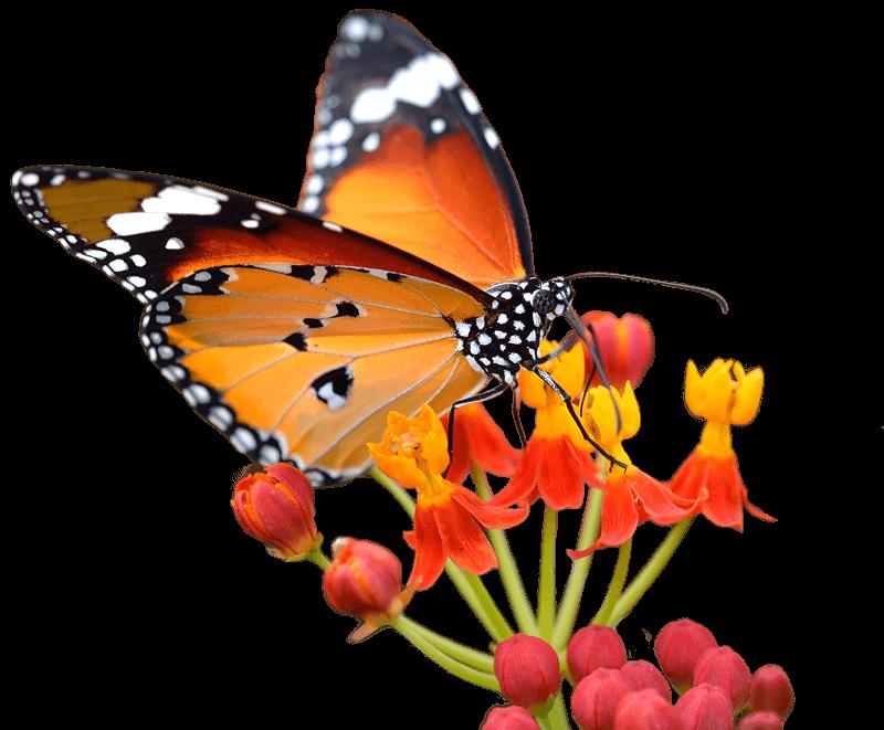Wavelength Recruitment Butterfly